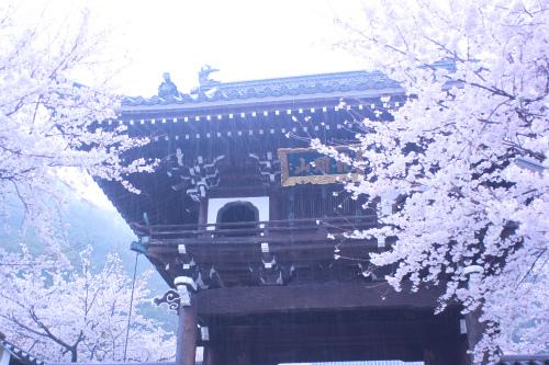 桜と雨と大門