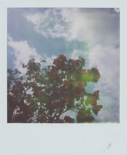 八重椿と青空