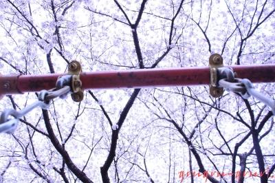 桜に向かって漕ぐの