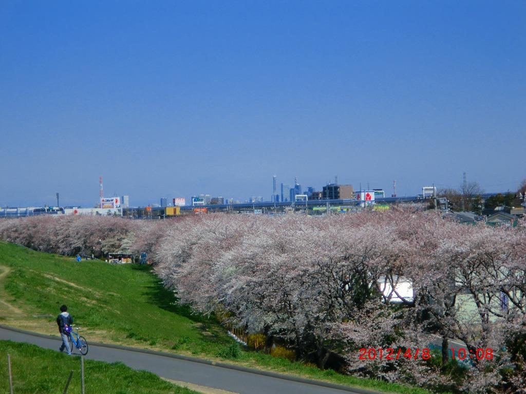 彩子北側桜