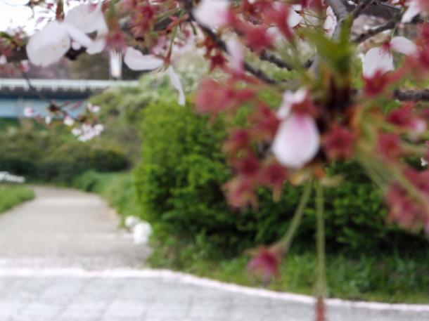 散った桜と猫