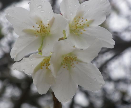 公園の早咲き大島桜