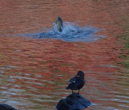 魚が跳ねる