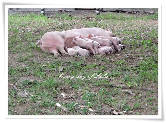 畜産豚さんたち