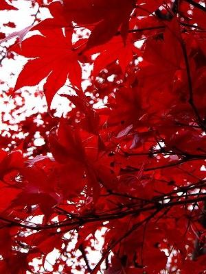 蚕糸の森公園 もみじの紅葉