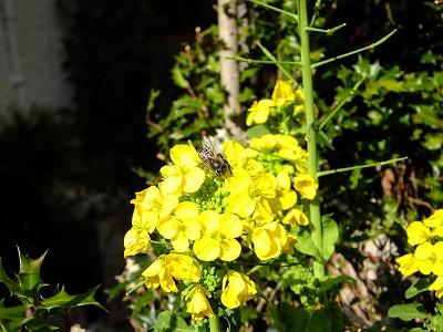 菜の花の蜜を吸うミツバチ