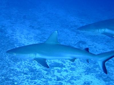 Grey reef shark at Emas Thila, Maldives