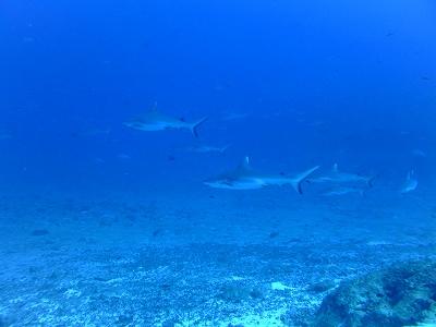 School of Grey reef shark