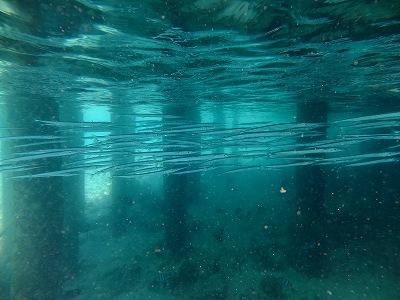 桟橋の下のダツ