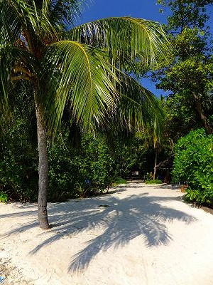 Kuda Bandos Coconut Tree
