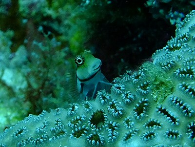 Lottle Combtooth Blenny