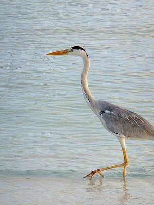 モルディブの鳥マアカナ