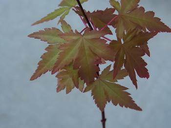 ギザギザの葉っぱ