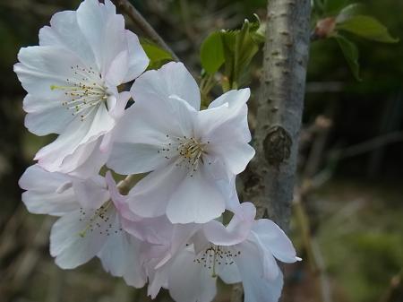 桜 アーコレード