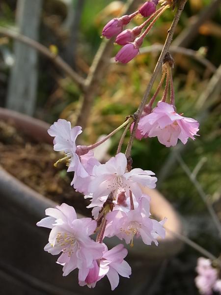 桜・八重紅彼岸枝垂れ