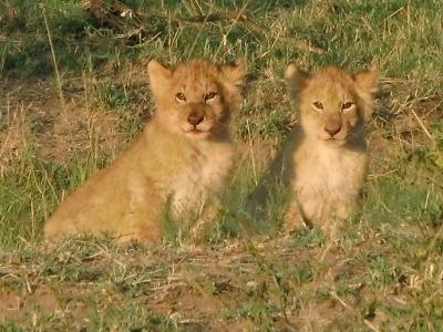 仔ライオン1