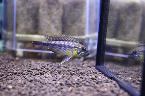 アピストグラマ アガシジィー イアガポーアスー 東海 岐阜 熱帯魚 水草 観葉植物販売 Grow aquarium