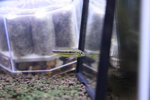 アピストグラマ ビタエニアータ ラーゴパラクーバ・オレンジバー 東海 岐阜 熱帯魚 水草 観葉植物販売 Grow aquarium