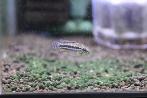アピストグラマ ビタエニアータ ラーゴパラクーバ 東海 岐阜 熱帯魚 水草 観葉植物販売 Grow aquarium