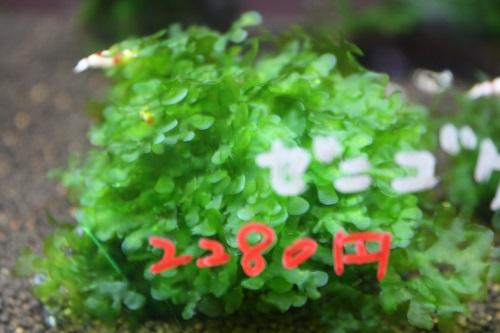 ゼニゴケsp.東海 岐阜 熱帯魚 水草 観葉植物販売 Grow aquarium