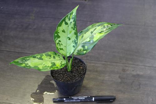 Aglaonema pictum tricolor 西スマトラ 東海 岐阜 熱帯魚 水草 観葉植物販売 Grow aquarium