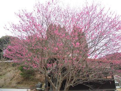 CIMG3547梅の木