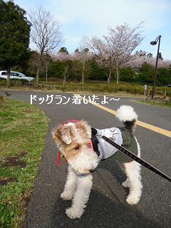 CIMG3978桜