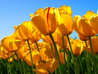 2s-Tulips.jpg