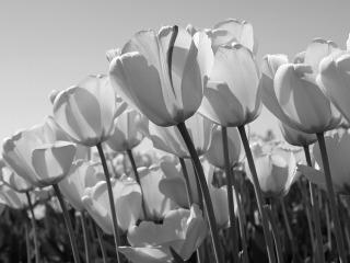 3s-Tulips.jpg