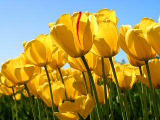 4s-Tulips.jpg