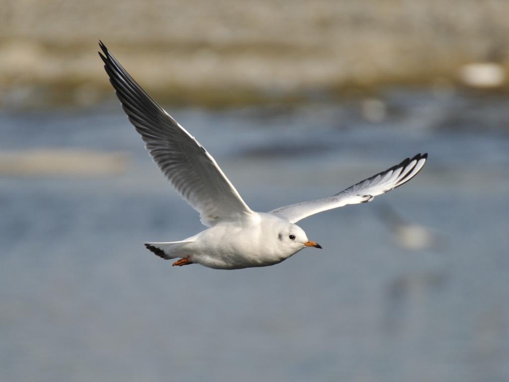 ユリカモメ(若鳥)・飛翔