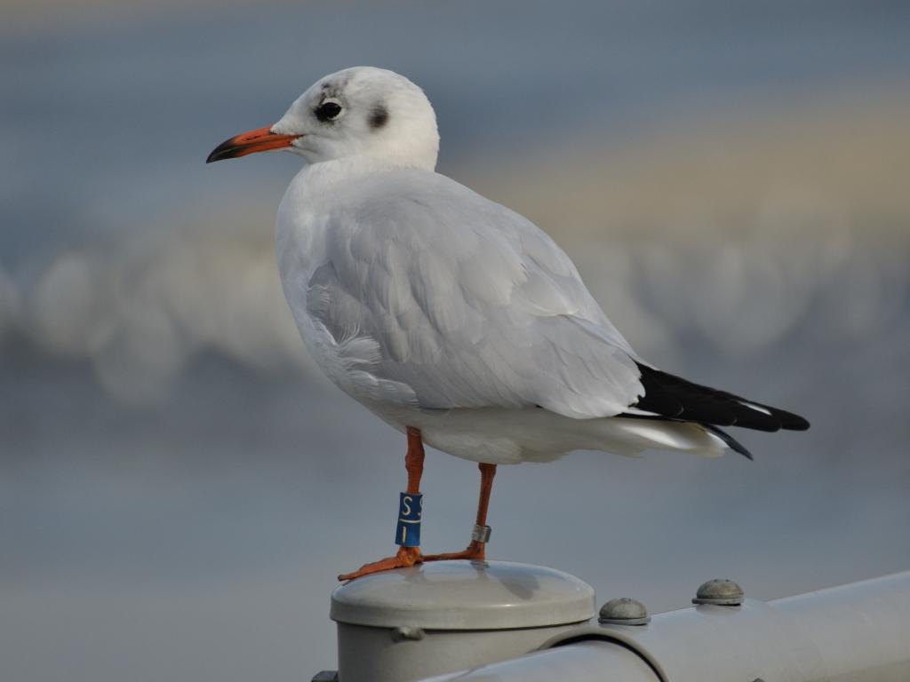 ユリカモメ(若鳥)・足環
