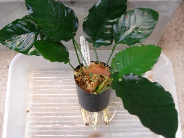 Anubias barteri var.caladiifolia