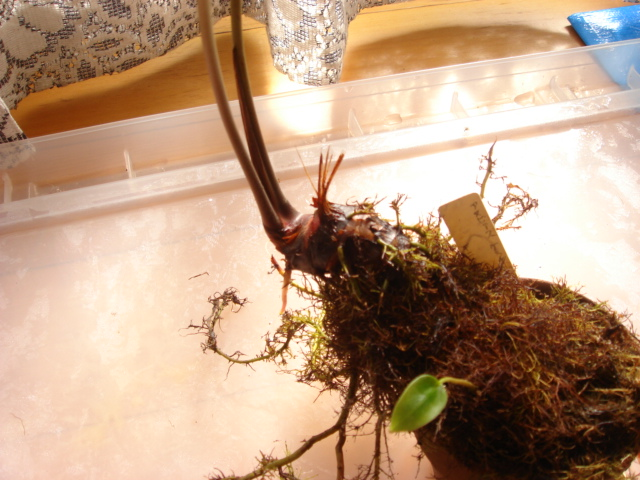 Anubias gracilis2