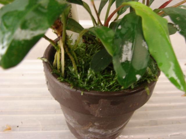 Bucephalandra sp. Sangau2