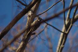 木陰のコゲラ