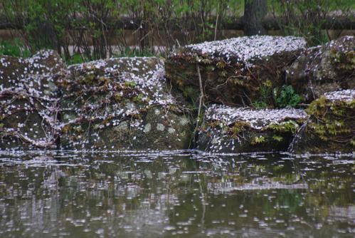 石に降り積もった桜