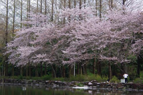 子どもと桜1