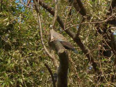 木の上からこちらを見るキジバト
