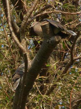 木の上でやや羽を広げたキジバト