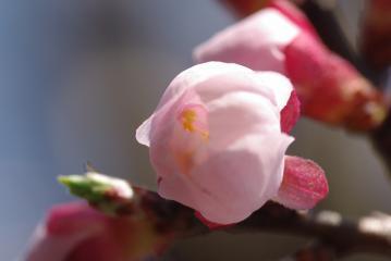 開きかけの杏子のつぼみ