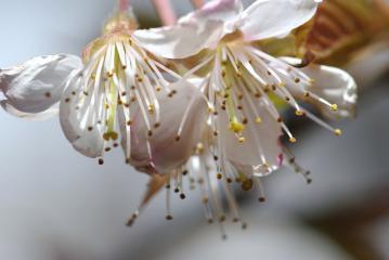 花弁が落ちてしまったサクランボ