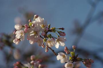 貝柄山公園の桜1