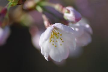 貝柄山公園の桜2