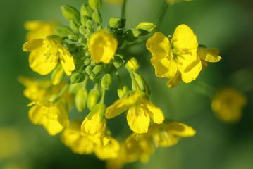 中沢貝塚の菜の花1