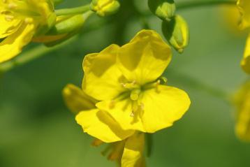 中沢貝塚の菜の花2