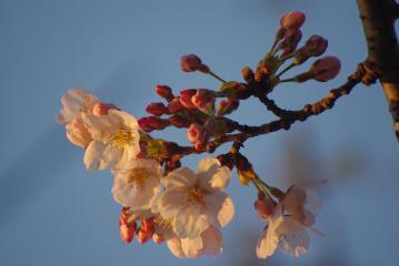 朝焼けの中の桜1