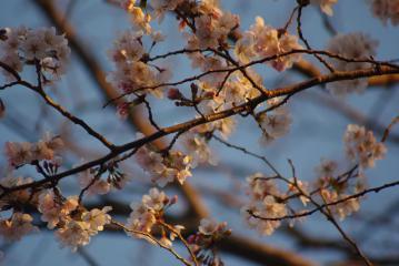 朝焼けの中の桜2
