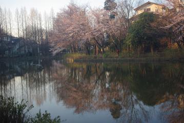 朝焼けの中の桜3