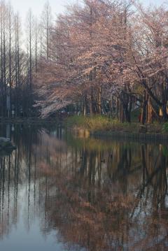 朝焼けの中の桜4